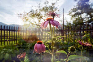 purple coneflower in the cottage garden in backlight with garden fence and apple tree, in background Rofan mountain range