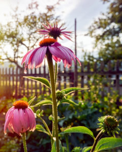 purple coneflower in a cottage garden in backlight with garden fence and apple tree