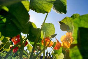 Kapuzinerkresse im Bauerngarten bei Gegenlicht