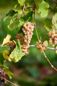 Ripe single Riesling grape on the vine