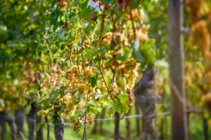 Vine row with ripe Riesling grapes