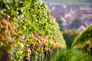 Vineyard, row of vines with ripe Riesling grapes, Ungstein in the background