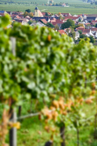Wine village Ungstein, in the foreground out of focus vine row with ripe Riesling