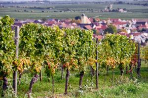 Rebzeile mit reifen Rieslingtrauben am Ungsteiner Herrenberg, Ungstein im Hintergrund