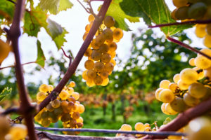 Ripe Riesling grapes on the vine, against the light