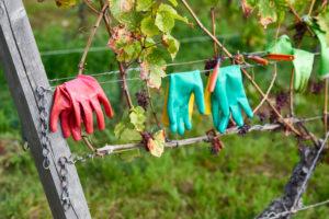 mint- und pinkfarbene Gummihandschuhe und Rebschere auf Drähten einer Drahtanlage im Weinberg