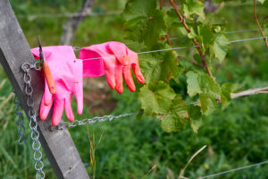 pinkfarbene Gummihandschuhe und Rebschere auf Drähten einer Drahtanlage im Weinberg