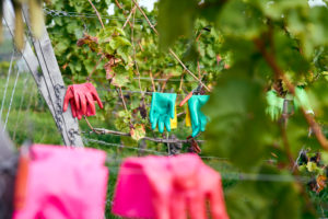 mint and pink rubber gloves and pruning shears on a wire system in the vineyard