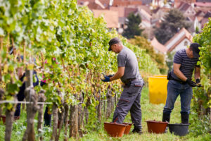 two male harvest workers with work gloves read Riesling grapes in a row of vines, houses in the background