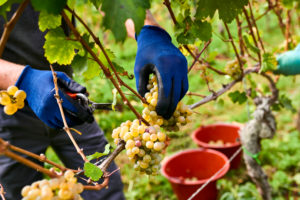 Vintage, harvest worker with blue rubber gloves reads Riesling grapes in reading bucket