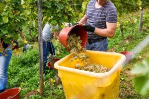 Weinlese, Erntehelfer mit schwarzen Arbeitshandschuhen leert Rieslingtrauben aus Leseeimer in Sammelbehälter