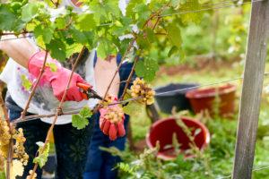Weinlese, Erntehelfer mit roten Gummihandschuhen schneidet Rieslingtrauben