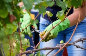 Vintage, harvest worker with green rubber gloves cuts Riesling grapes