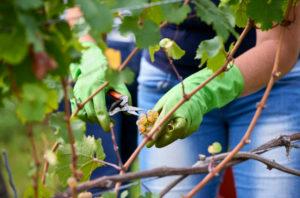 Weinlese, Erntehelferin mit grüen Gummihandschuhen schneidet Rieslingtrauben