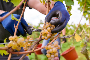 Weinlese, Erntehelfer mit blauen Gummihandschuhen schneidet Rieslingtrauben