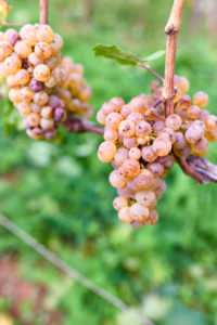 Fully ripe Riesling grapes with vine
