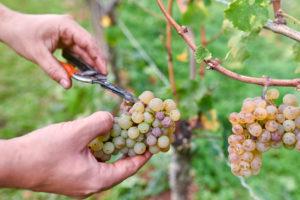 Weinlese, Erntehelfer schneidet einzelne faule und überreife Trauben aus ganzer Rieslingtraube mit Rebschere aus