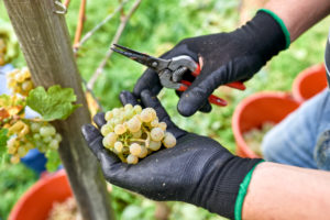 Grape harvest, harvest workers with black work gloves and pruning shears hold selected Riesling grapes
