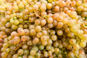harvested ripe Riesling grapes