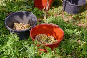 Weinlese, zwei Leseeimer im Weinberg, halbgefüllt mit Rieslingtrauben