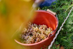 Leseeimer mit Rieslingtrauben im Weinberg