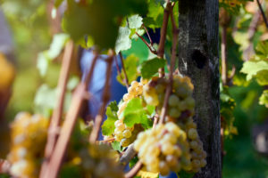 Ripe Riesling grapes on the vine