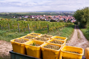 Weinlese, Anhänger mit Rieslingtrauben gefüllten Sammelbehältern in Weinbergsumgebung, im Hintergrund Ungstein