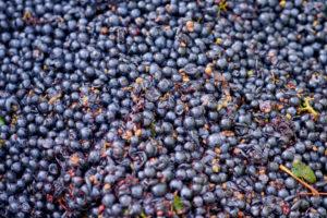 Weinlese, Weiterverarbeitung des Leseguts, Pinot Noir-Trauben im Lesebehälter