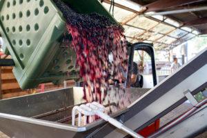 Weinlese, Weiterverarbeitung des Leseguts, Pinot Noir Lesegut wird aus Sammelbehälter in Entrappungsgerät/Traubenmühle geschüttet