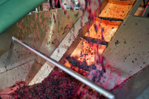 Weinlese, Weiterverarbeitung des Leseguts, Pinot Noir-Trauben auf dem Förderband zur Entrappung
