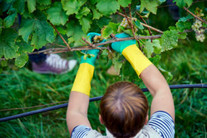 Grape harvest, harvesting assistant with rubber gloves harvest ripe Riesling grapes with pruning shears, vine with irrigation hose