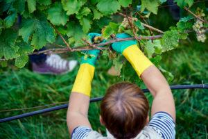 Weinlese, Erntehelfer mit Gummihandschuhen erntet reife Rieslingtrauben mit Rebschere, Rebe mit Bewässerungsschlauch