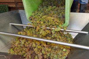Weinlese, Weiterverarbeitung des Leseguts,Behälter mit Rieslingtrauben wird in eine Traubenmühle entleert