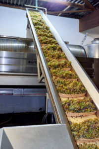 Harvesting, further processing of the grapes, Rieling grapes on the conveyor belt