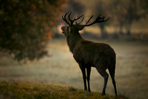 Magestic Red Deer, rutting season