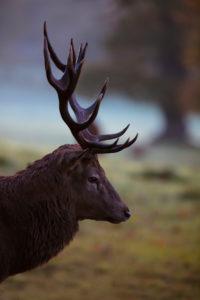 King of the Forest, Red Deer, Cervus elaphus