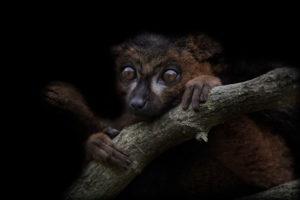 bamboo lemur, madagascar, africa