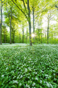 The sun, wood, wild garlic, wild flowers, way, spring, Leipzig, Germany