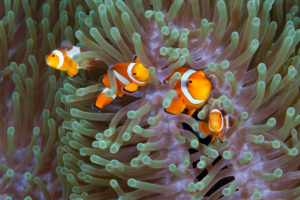 Clown Anemonefishes, Amphiprion ocellaris, Komodo National Park, Indonesia