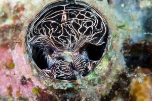 Great Worm Shell feeding, Serpulorbis grandis, Komodo National Park, Indonesia