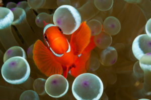 Spinecheek Clownfish, Premnas aculeatus, Komodo National Park, Indonesia