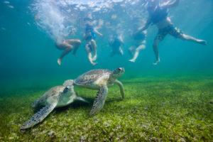 Snorkelers watching Green Sea Turtle, Chelonia mydas, Akumal, Tulum, Mexico