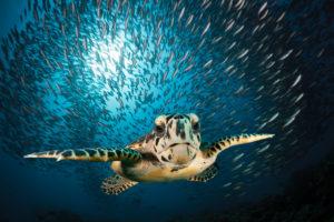 Hawksbill Sea Turtle, Eretmochelys imbricata, South Male Atoll, Indian Ocean, Maldives