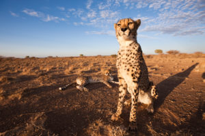 Male subadult Cheetah, Acinonyx jubatus, Kalahari Basin, Namibia, Acinonyx jubatus, Kalahari Basin, Namibia