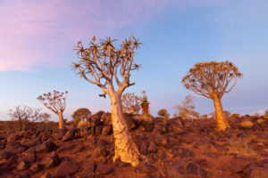 Quivertree Forest at Sunset, Aloidendron dichotomum, Keetmanshoop, Namibia, Aloidendron dichotomum, Keetmanshoop, Namibia