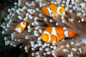 Soft Coral Polyps, Anthelia sp., New Ireland, Papua New Guinea