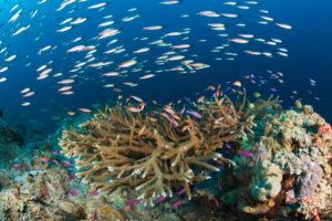 Anthias over Coral Reef, Anthias sp., New Ireland, Papua New Guinea