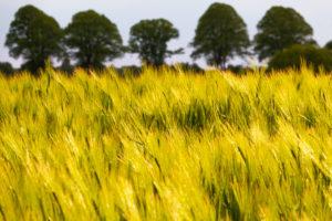 Barley field near Kittlitz, Lauenburg Lakes Nature Park