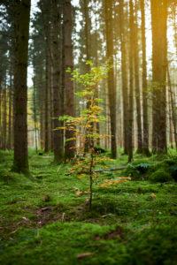 Einzelner Laubbaum im Nadelwald, Herbst, Grün, Gelb