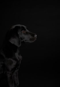Black dog, puppy, labrador, photo studio